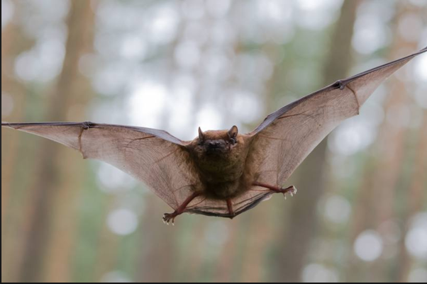 Are The Legs Part Of A Bats Body Quora