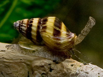 Pictures of fish tank snails for How to get rid of snails in fish tank