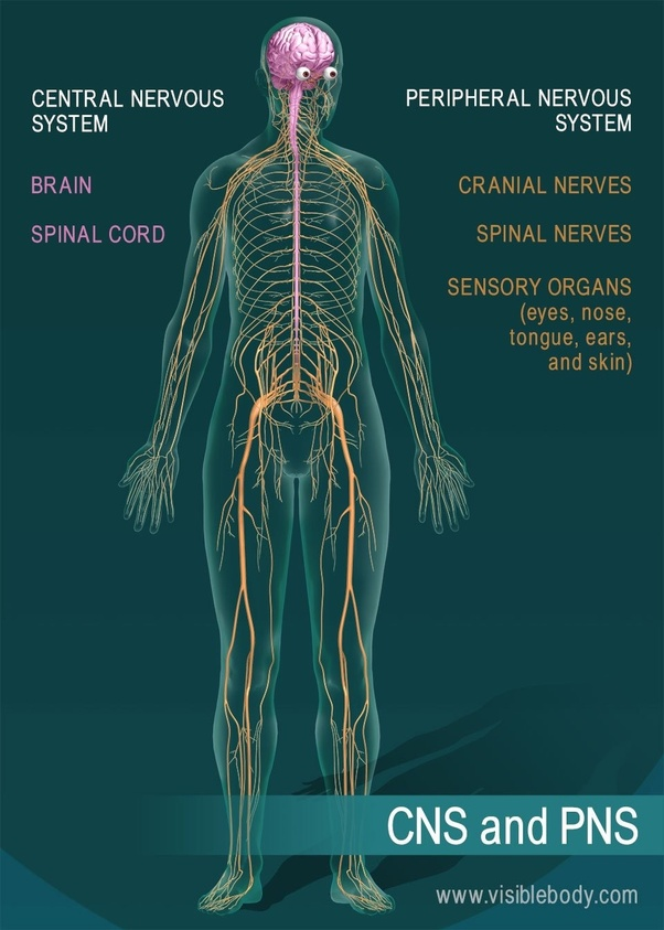 What are the three main parts of the nervous system? - Quora