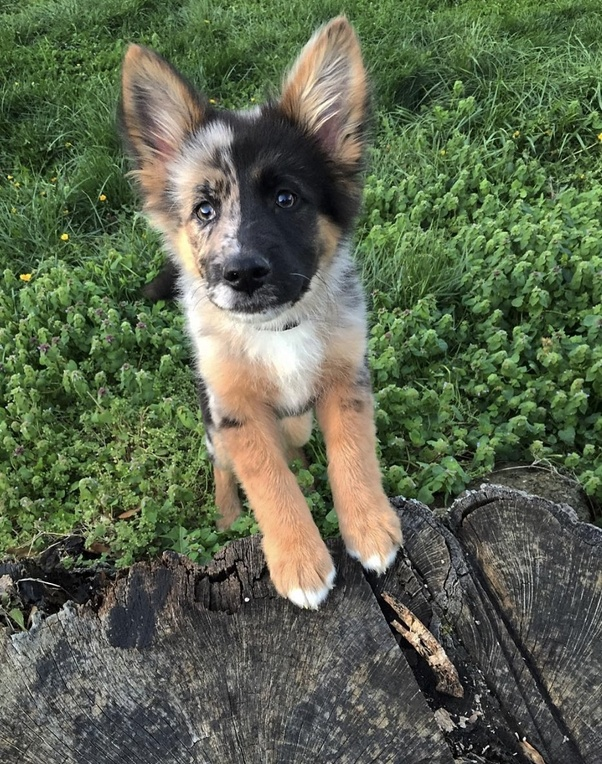 What Mixed Breeds Of Dogs Are The Most