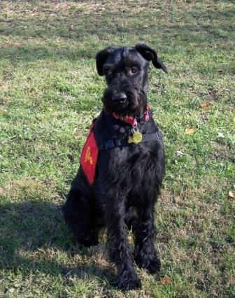 would a giant schnauzer make a good guard dog quora