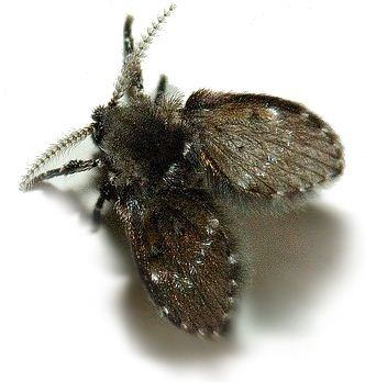How To Get Rid Of Little Black Moths Quora