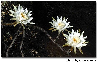 What are those 5 foot long spikes on my night blooming cereus plant tips for growing night blooming cereus dan gills mailbag mightylinksfo