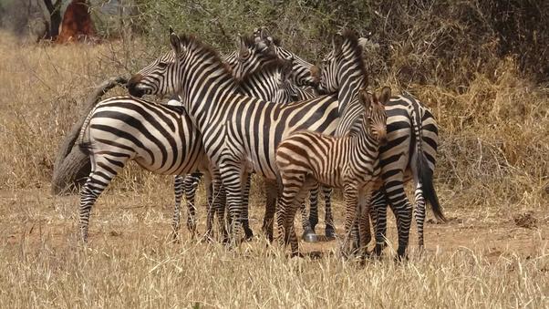 What sound do zebras and giraffes make? - Quora