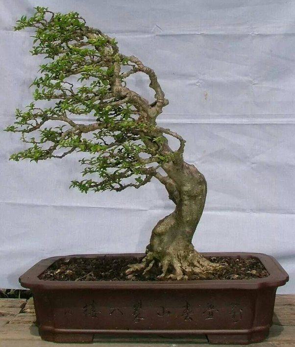 main-qimg-b7379a3da80b93e24631681df3f44320-c Why Wiring Bonsai on bonsai cultivation and care, bonsai shapes, bonsai tools, bonsai blue, bonsai jade, bonsai accessories, bonsai without wires, bonsai artist, bonsai starter, bonsai copper wire, bonsai ficus varieties, bonsai wire sets, bonsai tree, bonsai lamps, bonsai wire sizes,