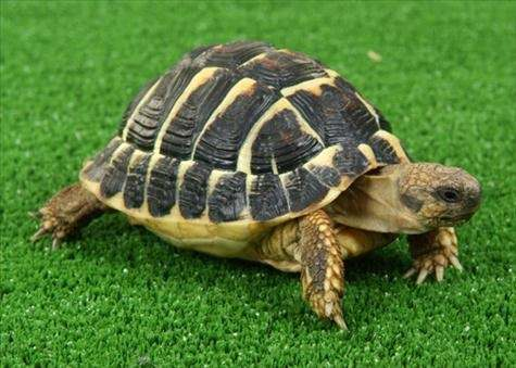 How Many Kinds Of Pet Tortoises Are There Which One Can Be Kept Indoors Quora