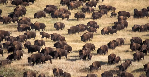 What types of animals are in herds? - Quora