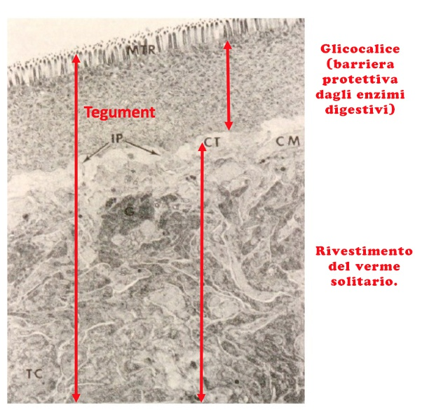 i parassiti possono sopravvivere nello stomaco?
