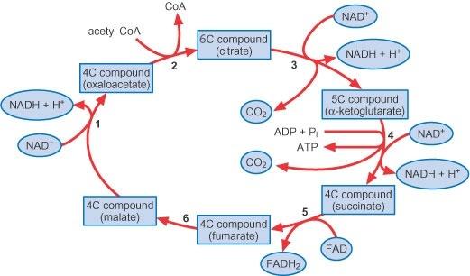 Cellular respiration definition yahoo dating