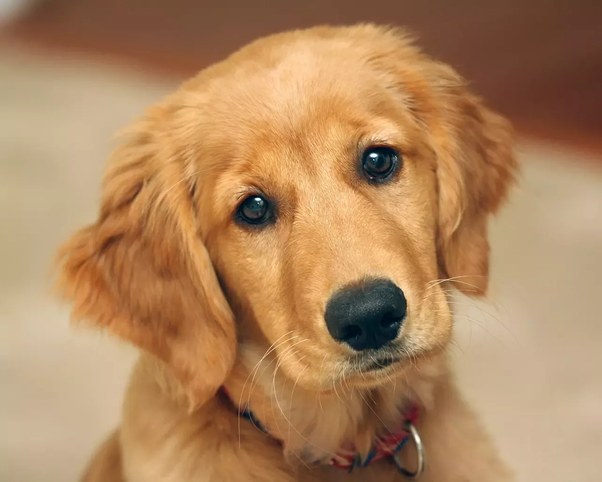 What Is The Price Of A Golden Retriever Puppy In India Quora