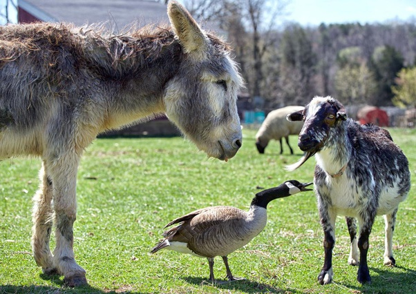 Donkey friends with other animals.