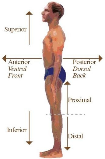 What Does Each Of These Relative Terms Mean Posterior Ventral And