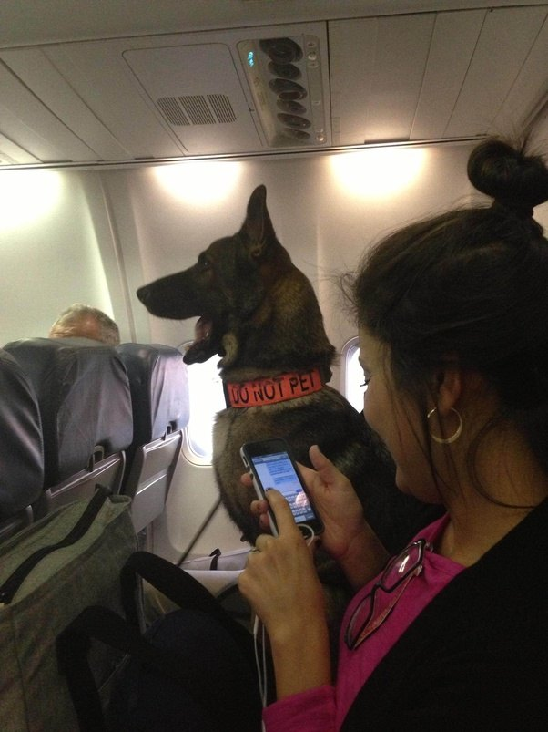 Large Service Dog Southwest Airlines
