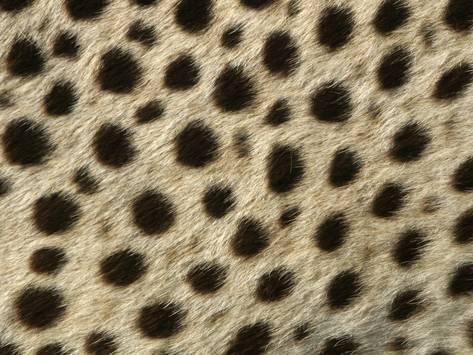 How Can One Easily Distinguish Cheetah Print From Leopard Print Quora