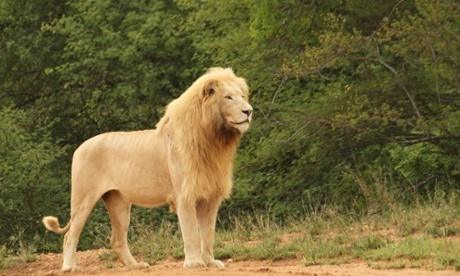 What Exactly Makes The Lion The King Of The Jungle Im Not Even