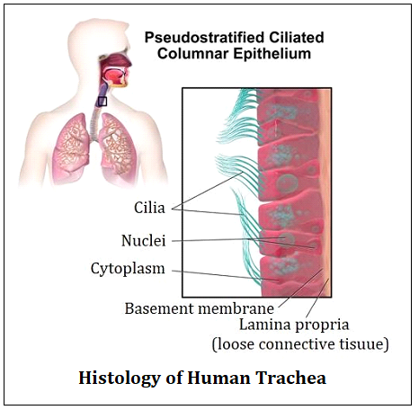 Histology of Human Trachea