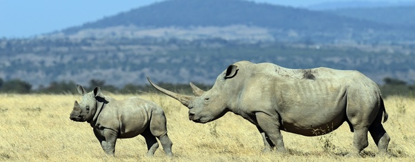 Which animal would win in a fight between a rhino and a