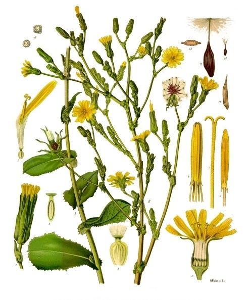 What is the name of the weed that has leaves that resemble dandelion what is the name of the weed that has leaves that resemble dandelion but the flowers stems are tall skinny and have many small yellow flowers on each stem mightylinksfo