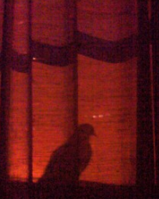 Veo la sombra de una paloma a través de mis persianas cuando duermo, ¿de dónde viene?