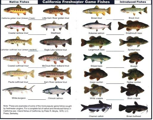 Do all major types of freshwater fish have many bones and ...