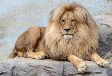 What is the origin of the Sanskrit word Simha (Lion)? - Quora