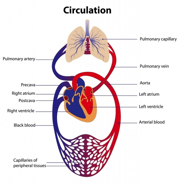 Why does the human heart only have 4 chambers rather than another this is a very basic explanation but i hope it suffices ccuart Images