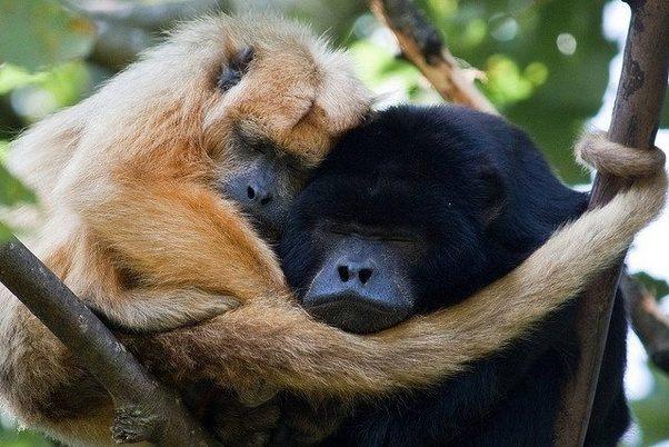 How Do Monkeys Sleep I Live In A Dense Area With Trees