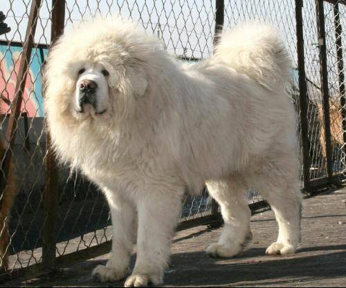 Giant Russian Bear Dog For Sale