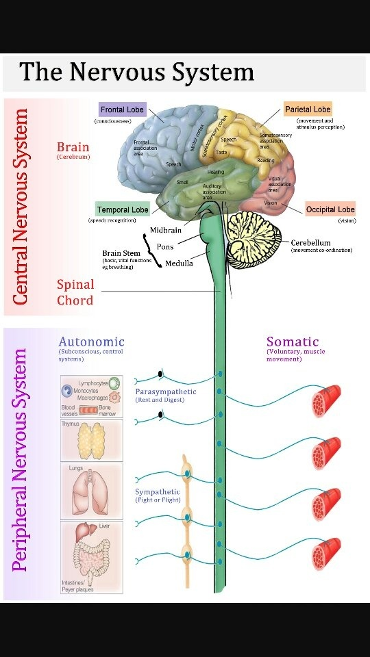 How does the spinal cord connect to the brain? - Quora