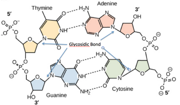 How does a glycosidic bond occur in dna quora there are four glycosidic bonds in dna each occurring with one of the four dna bases thymine adenine guanine and cytosine then a bunch more for every ccuart Images