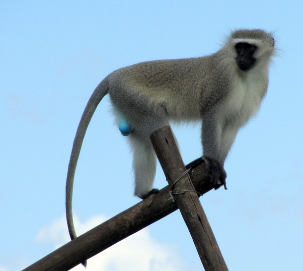 What is a blue monkey? Quora