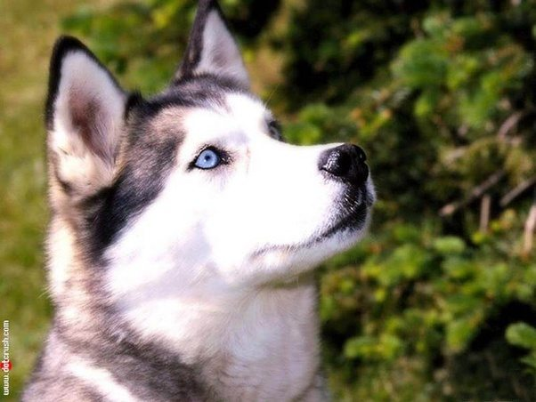 What is the breed of a dog which looks like a fox and has light blue eyes called quora - Pictures of siberian huskies ...