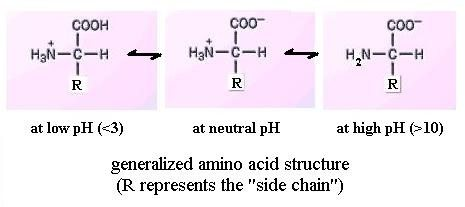 How do amino acids behave in both acidic and basic conditions quora at alkaline ph the carboxyl group is ionised and the molecule carries a unit negative charge at intermediate ph the isoelectric point both groups are altavistaventures Images