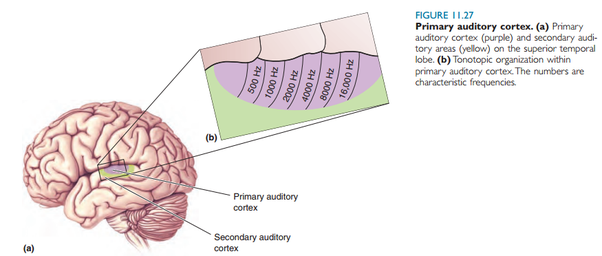 What part of the brain is activated when you whistle quora aside you only asked for parts of the brain but heres the whole pathway from hearing the song all the way to the auditory cortex ccuart