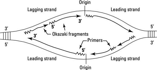 Do the lagging strands have the same length as the leading strands but at the oric origin point of replication where the replication bubble form two dna polymerase iii enzymes are working at a time on both of the strand ccuart Image collections