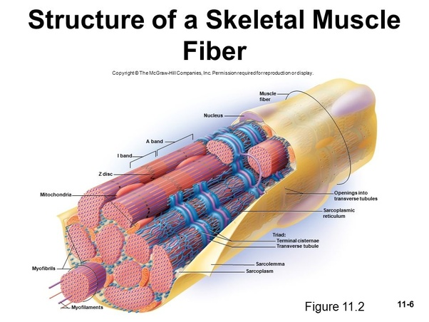 Do Skeletal Muscle Cells Have Ribosomes And Where Are They Located