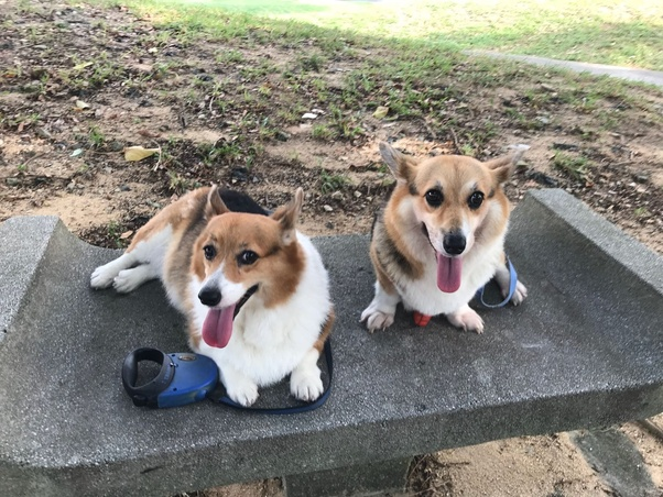 What Are The Pros And Cons Of A Welsh Corgi Quora