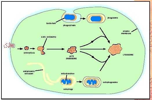 What Is The Location And Function Of A Lysosome Quora