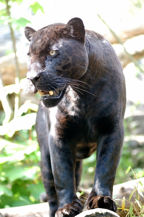 what are the differences between leopard, panther and a jaguar? - quora