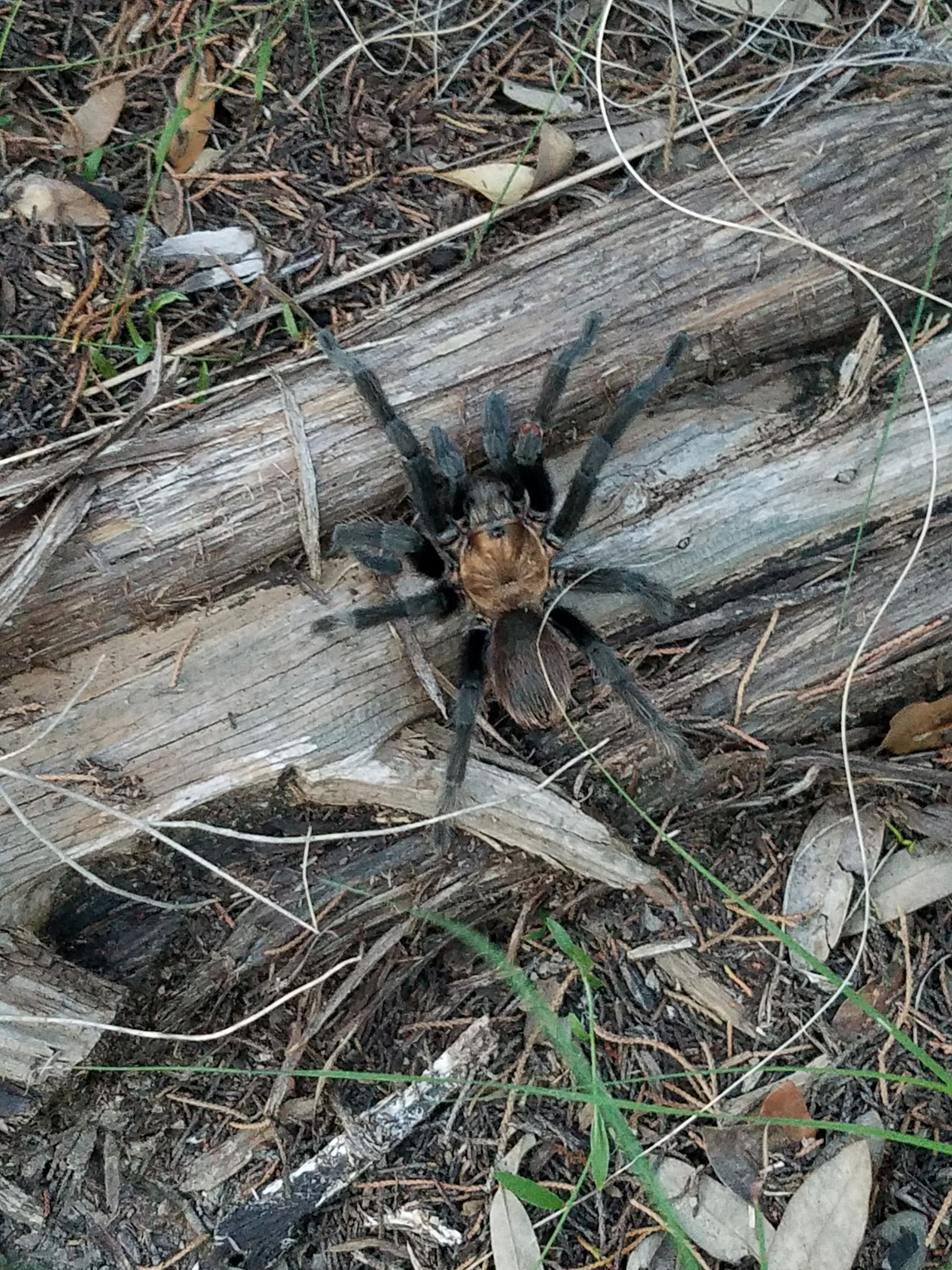 Is It True That Giant Tarantulas Are Invading Texas By The