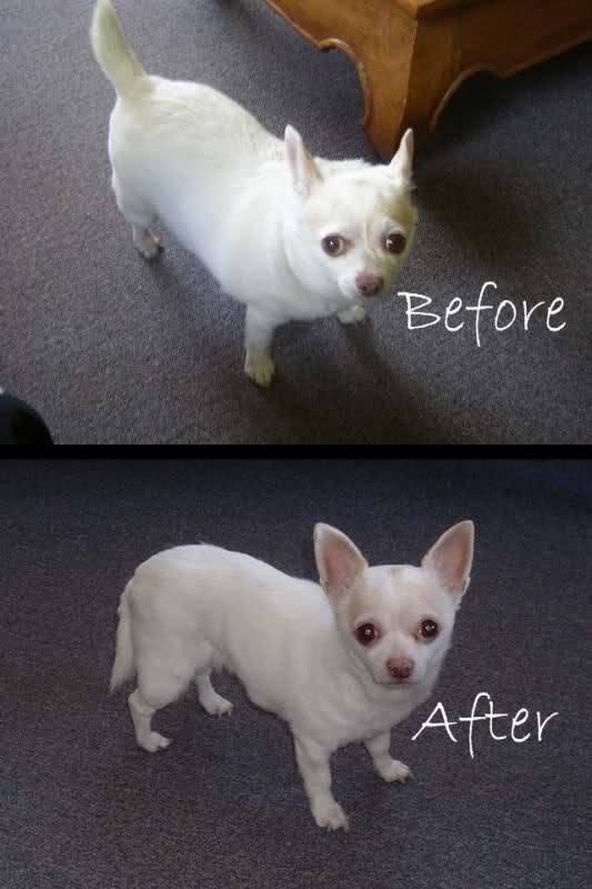 How much food should my 6-month-old Chihuahua eat? It ...