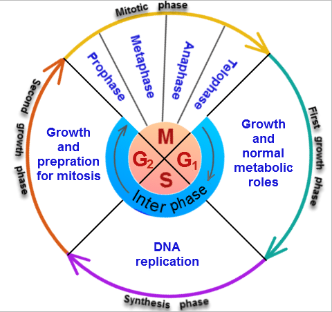 After the s phase does the number of chromosomes also double quora answer wiki ccuart Image collections