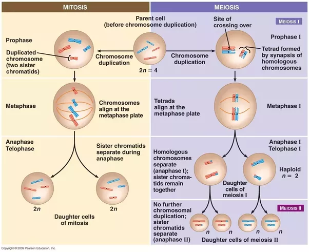 Which phase of meiosis is different from mitosis how quora in metaphase of mitosis each chromosome is lined up pair of sister chromatids and then they split producing 2 identical daughter cells ccuart