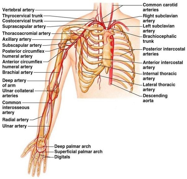 What Is A Thoracic Artery Quora