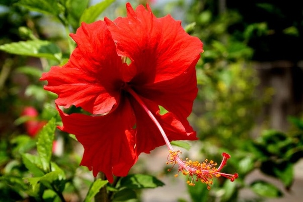 What Is The Scientific Name Of The Hibiscus Quora