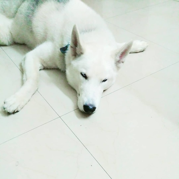 What are the characteristics of a Siberian husky? - Quora