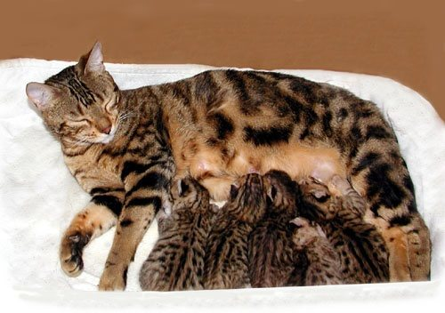 Sexual dimorphism in cats