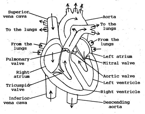 What Structures Does Blood Pass Through Between Entering The Heart