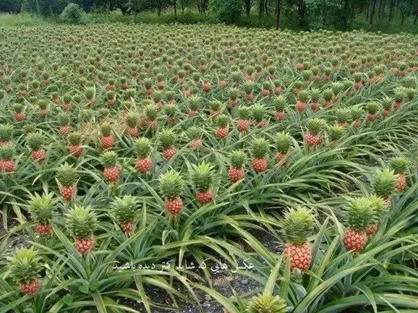 Do Pineapples Grow On Trees Quora
