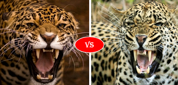 Would a leopard, a cheetah, or a jaguar win in a fight ...